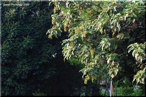 夏の風物詩 花後に素速く育つ 緑色のたわわな桐の実