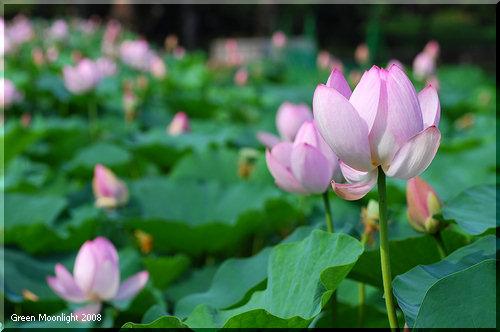 真夏の日差しを受けて花弁を閉じる古代蓮 オオガハス