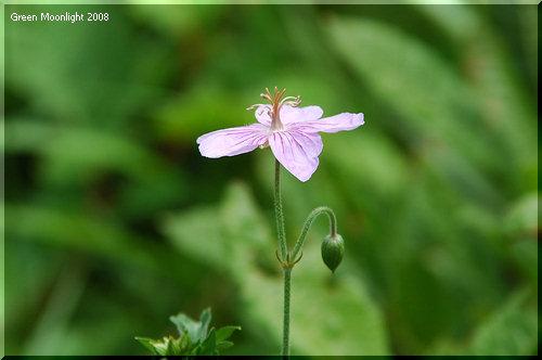 高原の風に揺れながら上を向いて咲く ハクサンフウロ