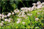 チングルマの象牙色の穂が真夏の高原を吹く風に揺れる