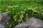 岩の上を這うように咲く 愛嬌たっぷりのアオノツガザクラ