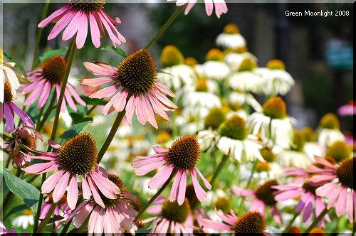 花を愛でて良し、飲んで良し! 重宝なハーブ エキナセア