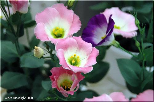 日本で品種改良が進む 和風のユーストマ トルコギキョウ