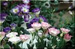 日本で品種改良が進む和風のユーストマ トルコギキョウ