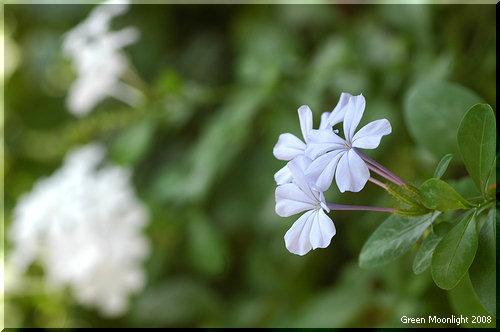 静かな淡い青色で漏斗状の花を咲かせるプルンバゴ