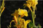トラクターが通る農道の路傍に大きな花を咲かせるカンナ