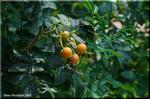 丸くてオレンジ色の実がローズヒップとよばれるものです