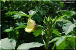 意外な程に優美 ハイビスカス似の花を咲かせる オクラ