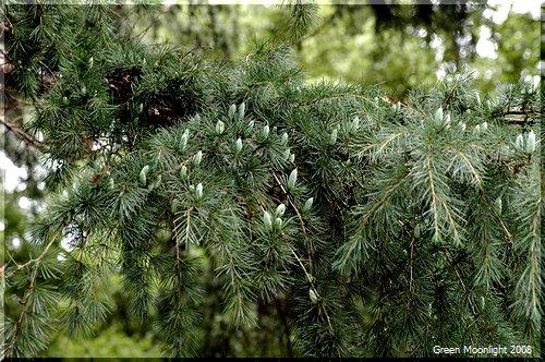 美しい樹形のまま大きくなる 記憶に残るヒマラヤスギ