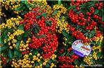 数えきれないほどの赤い小さな実を付けるピラカンサ