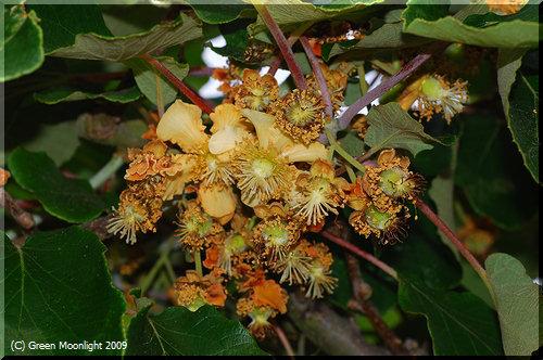 葡萄に似た大きな葉に象牙色の花が咲くキウイフルーツ