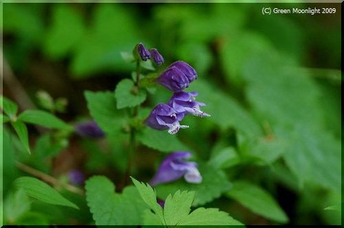 花後、ランナーで増えるラショウモンカズラ(羅生門葛)