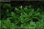 思い出したように一斉開花する高山植物 コバイケイソウ