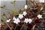 艶々の葉に可愛い薄紅色の花を咲かせるイワウチワ