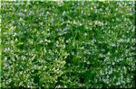 地味な花ながら、育てやすくて重宝なハーブ カラミンサ