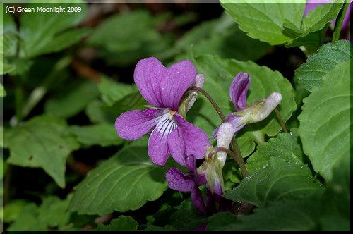 魅力的な花が群生して印象深いミヤマスミレ(深山菫)