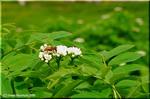 高原で静かに咲くウラジロナナカマド(裏白七竈)