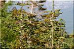 暗濃紫の球果をつける亜高山の樅 シラビソ(白檜曽)