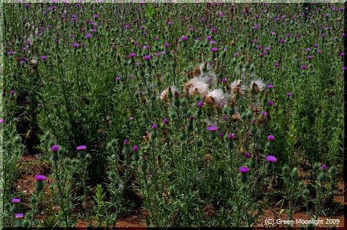 ワガモノ顔で増え続ける帰化植物 アメリカオニアザミ