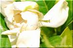 カマキリの赤ちゃんが縄張りにするクチナシの庭樹