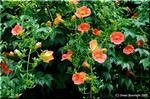 夏イメージで橙色の花をつける ノウゼンカズラ(凌霄花)