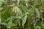 花全体は乳白色で先だけが緑色のナルコユリ(鳴子百合)