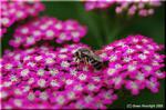 昆虫たちを呼び寄せる 紅花のセイヨウノコギリソウ(西洋鋸草)