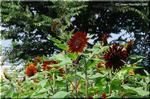意外な程に多彩な変化がある夏の花 ヒマワリ(向日葵)