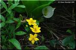 高層湿原を黄金色に染めるリュウキンカ(立金花)