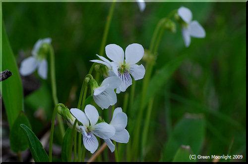 静かな風を受けて輝くように咲く、高原のシロスミレ