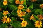 明るい葉に爽やかな花を咲かせるメランポジューム