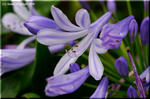 梅雨時を静かに彩るロイヤルブルーの花 アガパンサス