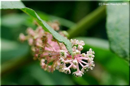 愛らしい花を咲かせる大型の毒草 ヨウシュヤマゴボウ