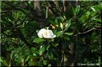 タイサンボクの乳白色で美しい大輪の花は一日花でした