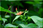 夏の訪れを知らせる橙色のフシグロセンノウ(節黒仙扇)