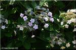 炸裂する美しいガクアジサイ(額紫陽花) 「墨田の花火」