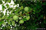 バラ科のカリン(花梨)はリンゴやボケに似た果実を付ける