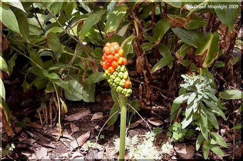 橙色で独特な姿の果実になるサトイモ科のマムシグサ