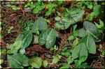地味ながら、カンアオイ(寒葵)はとても有名な植物です
