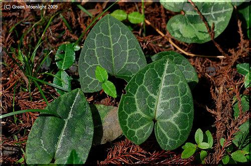 ひょうきんなコバンソウ(小判草)は鑑賞用のイネ科植物