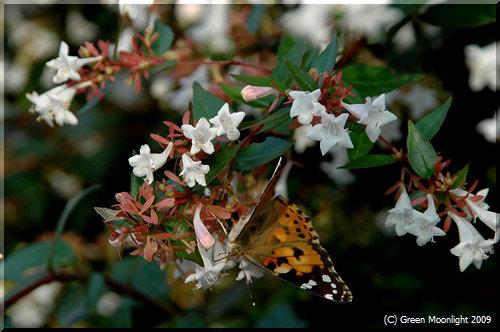 たくさんの昆虫たちを集めるハナゾノツクバネウツギ