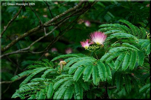 淡い紅色の花を咲かせる初夏のネムノキ(合歓の木)