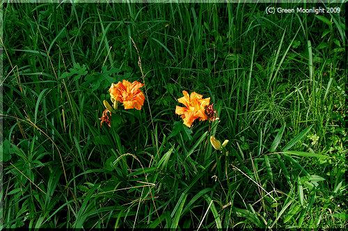 ヤブカンゾウ(薮萓草)は民家周辺で橙色の花を咲かせる