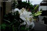 花数が増えて重いカサブランカは元祖オリエンタル系