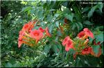 赤っぽい花をつけるノウゼンカズラ(凌霄花)もあります