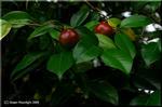 椿の実 翠色に膨らみ、そして赤く色付く夏