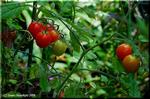 ミニトマトは育てて楽しく、栄養価の高い美味しい野菜です