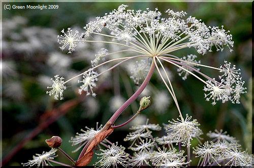 シシウドは高原に群生して白い花を咲かせる大きな草