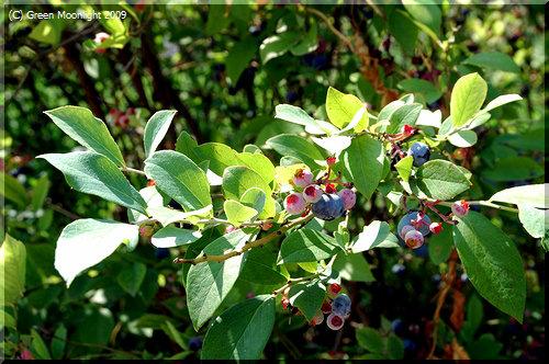 ブルーベリーはおいしくて、かわいくて、有用な果実