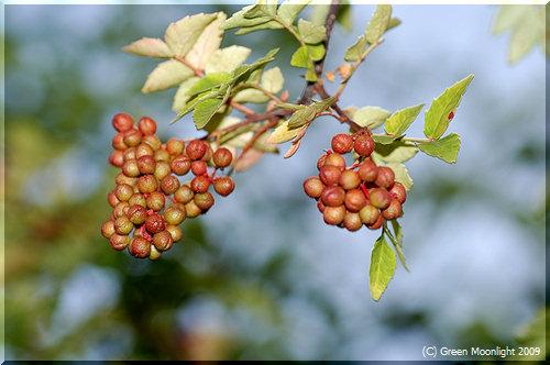 和風香辛料の代表格 サンショウ(山椒)の実が豊作です